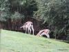 Thomson's Gazelle Busch Gardens 25-09-2013 17-50-54