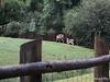 Thomson's Gazelle Busch Gardens 25-09-2013 17-50-36