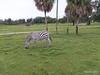 Zebra Thomson's Gazelle Busch Gardens 25-09-2013 18-04-33