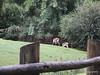 Thomson's Gazelle Busch Gardens 25-09-2013 17-50-32