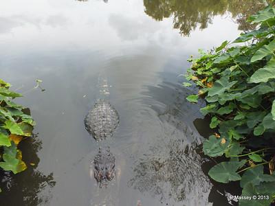 Alligators Gatorland 23-09-2013 17-00-44