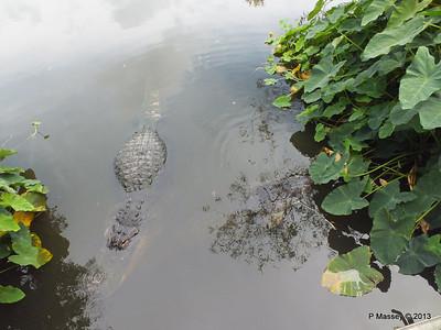 Alligators Gatorland 23-09-2013 17-02-03