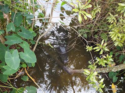 Alligators Gatorland 23-09-2013 17-03-47