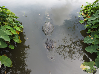 Alligators Gatorland 23-09-2013 17-00-18