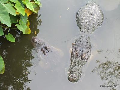 Alligators Gatorland 23-09-2013 17-01-07