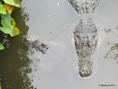 Alligators Gatorland 23-09-2013 17-01-18