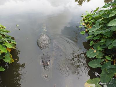 Alligators Gatorland 23-09-2013 17-00-41