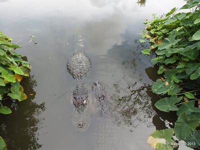 Alligators Gatorland 23-09-2013 17-00-39