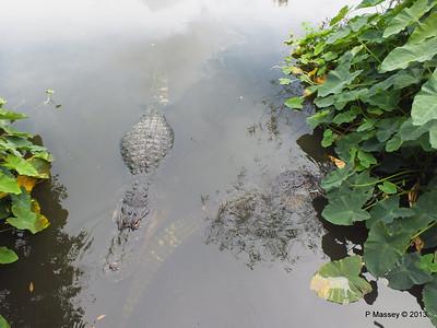 Alligators Gatorland 23-09-2013 17-01-54