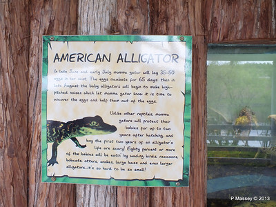 American Alligator Gatorland 23-09-2013 16-49-41