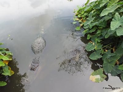 Alligators Gatorland 23-09-2013 17-02-00