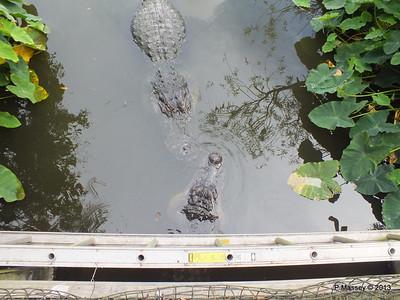 Alligators Gatorland 23-09-2013 17-00-32