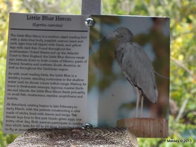 Little Blue Heron information Gatorland 23-09-2013 16-57-03
