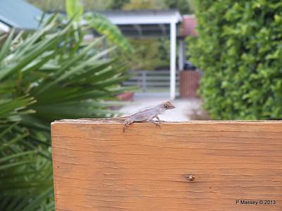 Lizard Shedding Skin Gatorland 23-09-2013 16-47-59