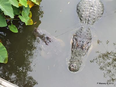 Alligators Gatorland 23-09-2013 17-01-10