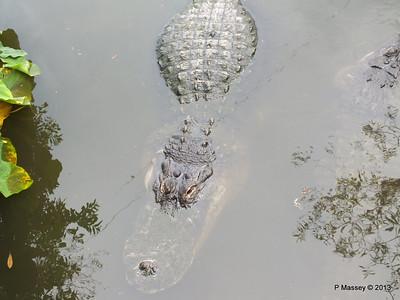 Alligators Gatorland 23-09-2013 17-01-46