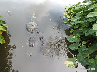 Alligators Gatorland 23-09-2013 17-01-33
