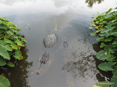 Alligators Gatorland 23-09-2013 17-01-38