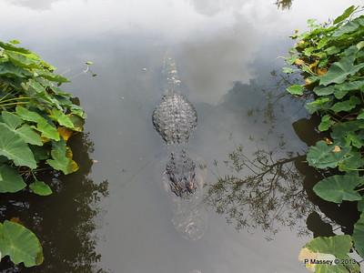 Alligators Gatorland 23-09-2013 17-00-28