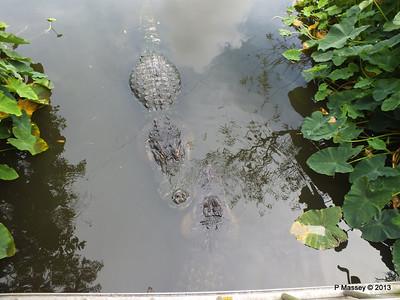 Alligators Gatorland 23-09-2013 17-00-35