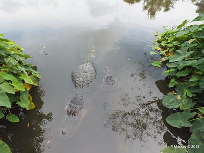 Alligators Gatorland 23-09-2013 17-01-41