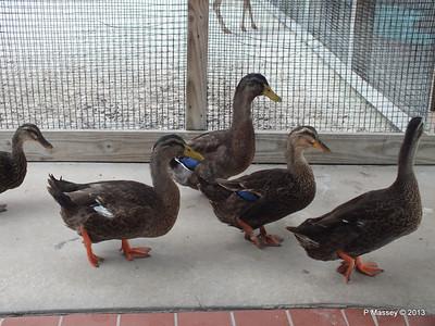 Curious Wild Ducks Gatorland 23-09-2013 16-50-10