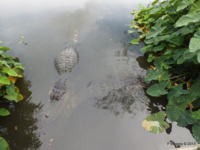 Alligators Gatorland 23-09-2013 17-01-56