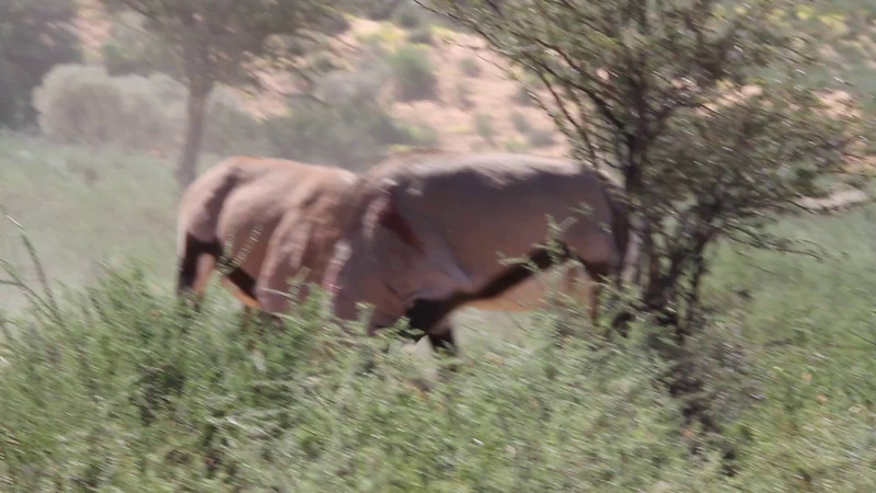Oryx/Gemsbok fighting to the death??