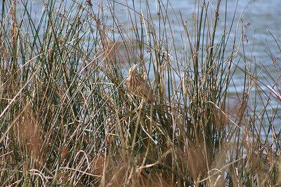 1/14/06 American Bittern (Botaurus lentiginosus). Morro Bay Winter Bird Festival, Event #35, Oso Flaco Lake, Oceano, San Luis Obispo County, CA
