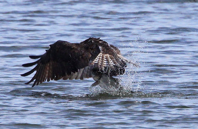 With the first downbeat of his wings, he has the fish almost 50% out of the water. Note the amount of spray kicked up behind the bird and fish.