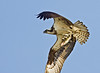 Osprey with Cat Fish
