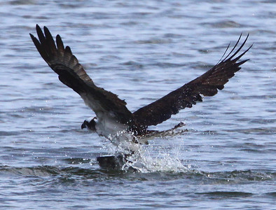 One last effort by the Osprey to clear the water.