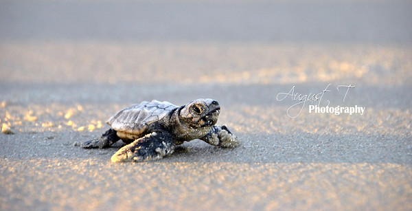 Baby sea turtle just feet from entering the ocean.  If he is a male, its the last time he will ever be on land!
