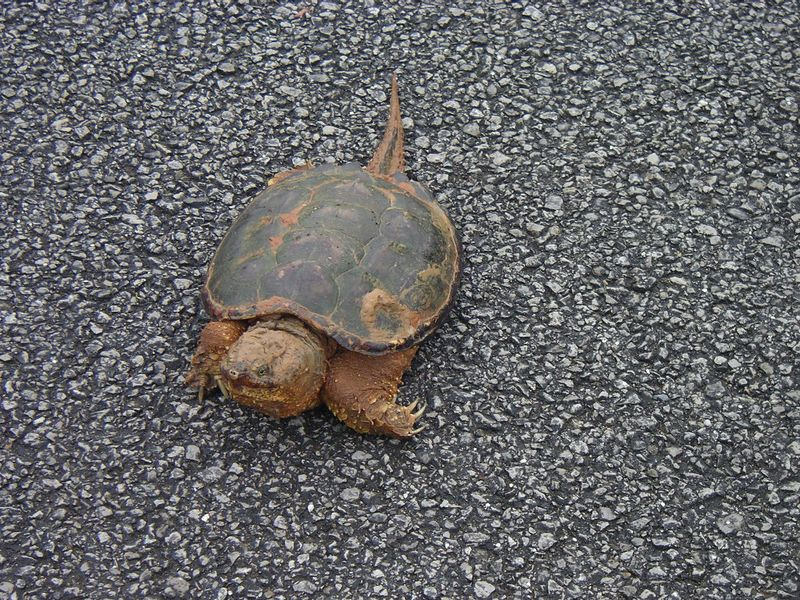 Snapping Turtle trying to cross the road to Blue Springs Cave.