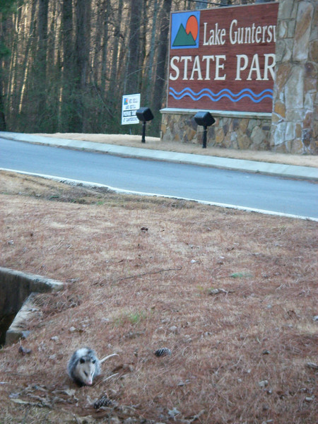 Welcome to Guntersville State Park.  Our tame possum will greet you at the park entrance.