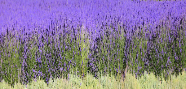 Lavender Fields, Olympic Game Farm, Bloedel,