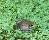 Frog in mill race,Muddy Creek Forks,PA