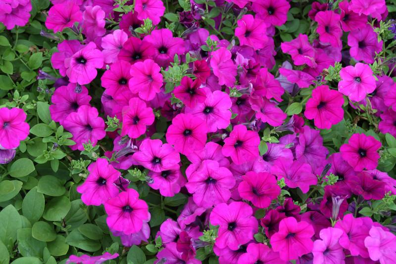 Flowers in front yard,Glen Rock,PA