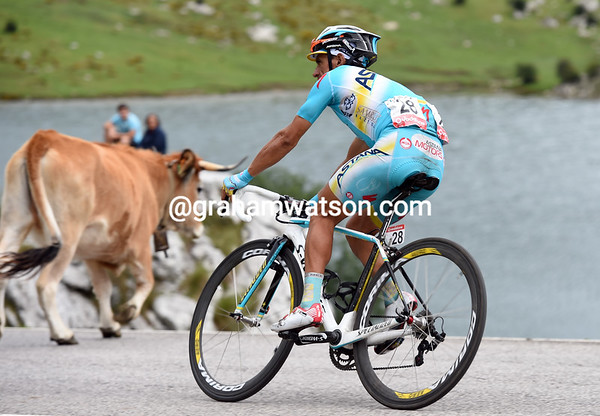 Paolo Tiralongo will lose nearly nine-minutes today, but he survived a collision with a Covadonga cow..!