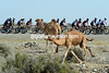 Some camels have come out to watch the Tour of Oman, much to the amusement of the dawdling peloton...