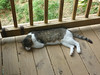 This cat is named Meatball.  I had a cat when I was little named Meatball as well.<br /> He showed up about a month and a half ago and has stuck around.  He is very sweet and fine with the dogs and chickens etc.