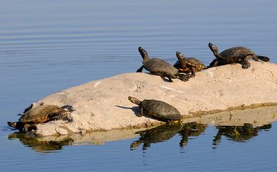 malibu_turtles 115.434