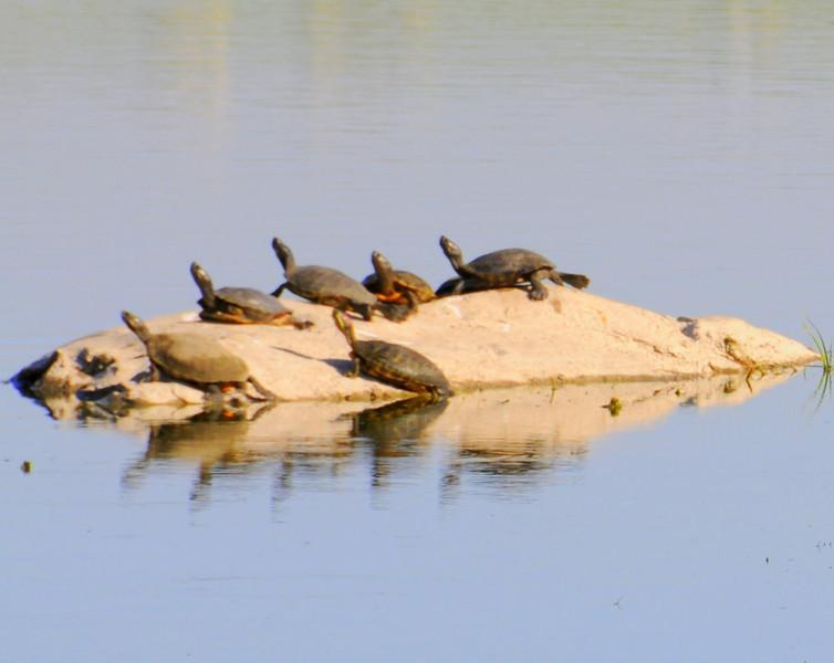 malibu_turtles 060,4354