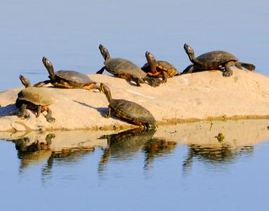malibu_turtles 092.34544