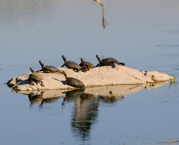 malibu_turtles 093.4344