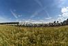 The peloton speeds between wheatfields on a very summery day in Switzerland...