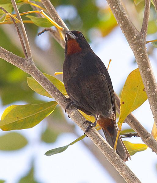 Lesser Antillean Bullfinch - Male