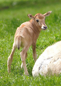 Young Addax.