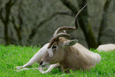 Mother Addax resting.