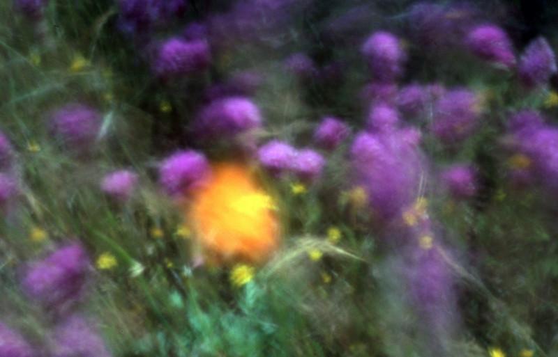 Poppy in the Wind 5<br /> Film originated photo.<br /> 14x20, 28x40 or 35x50 ...